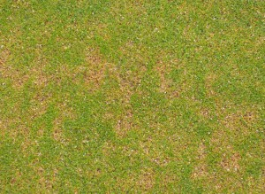 Crown-rot anthracnose (CRA) on a putting green. Photo courtesy Joseph M. Vargas Jr.