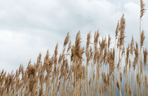 bigstock-Waving-Reeds-And-A-Cloudy-Sky-62596787