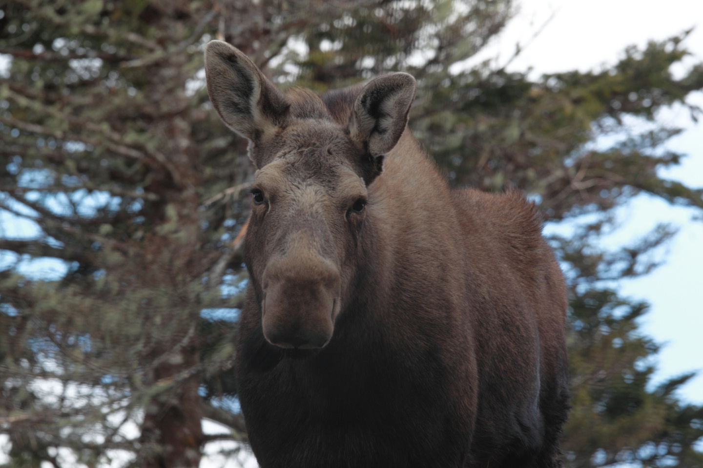 Moose photo - Mike Dembeck
